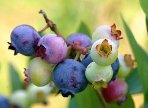 Mossyrock Blueberry Festival